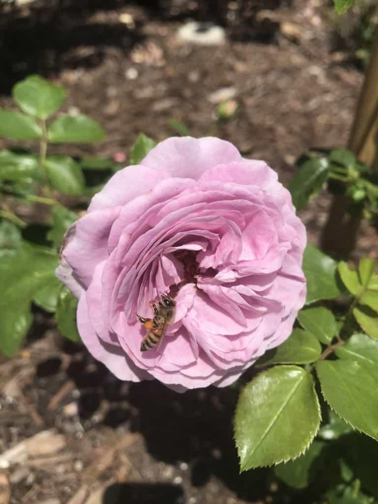 Rose at Selby Gardens, Sarasota, FL