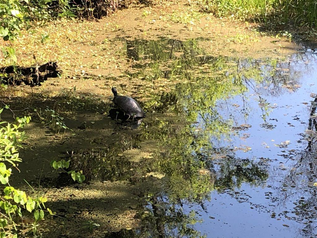 Brooker Creek - turtle